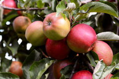 Yellow and red apples ripening on the branch Royalty Free Stock Images