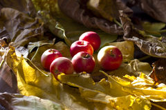 Yellow and red autumn apples on the fallen leaf Royalty Free Stock Photos