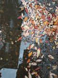 Yellow and red autumn leaves under my feet in a puddle. Yellow and red autumn fallen leaves underfoot royalty free stock images