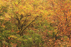 Yellow and red autumn leaves. Against green leaves background Royalty Free Stock Image