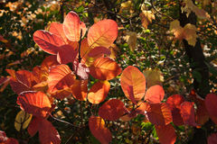Yellow and red autumn leaves. Against green leaves background Royalty Free Stock Photo