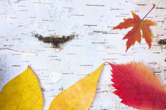 Yellow and red autumn leaves Royalty Free Stock Images