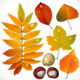 Yellow and red autumn leaves and chestnut Stock Photo