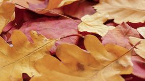 Yellow and red autumn leaves. Yellow autumn leaves on rotating plate, close-up stock footage