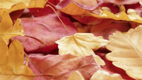 Yellow and red autumn leaves. Yellow autumn leaves on rotating plate, close-up stock video