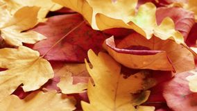 Yellow and red autumn leaves. Yellow autumn leaves on rotating plate, close-up stock video footage