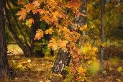Yellow and red autumn leaves on trees. Maple and aspen, yellowed, autumn landscape in bright sunlight stock photo