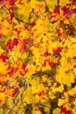 Yellow and Red Autumn Maple Leaves. Branches laden with bright yellow and red speckled autumn maple leaves royalty free stock images