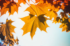 Yellow red autumn maple leaves over blue sky Royalty Free Stock Image