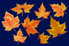 Yellow-red autumn maple leaves Royalty Free Stock Images