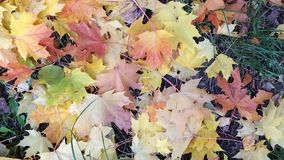 Yellow and red autumn maple leaves the wind stirs. The view from the top stock video footage
