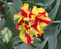 Yellow and red beautiful tulip Royalty Free Stock Images