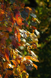 Yellow-red branch of autumn royalty free stock image