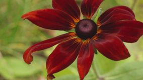 Red and brown coneflowers getting on sunny summer day, 4K. Yellow, red and brown coneflowers close up on sunny summer day, 4K stock footage