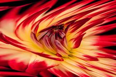 Yellow and red bud Stock Photography