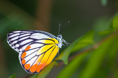 Yellow Red Butterfly. Royalty Free Stock Images