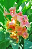 Yellow and red canna Stock Image