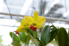 Yellow with red Cattleya orchid Stock Photography