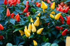 Yellow and red chili peppers. These peppers are ornamental is a seedling that remains low, royalty free stock image