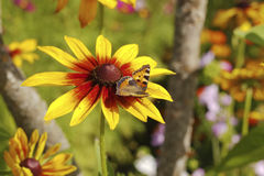 Yellow red chrysanthemum Royalty Free Stock Photography