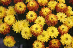 Yellow-red chrysanthemum. Beautiful flowers of autumn - Chrysanthemum Stock Image