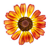 Yellow with red chrysanthemum Stock Images