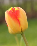 Yellow and red closed tulip in garden. Single red and yellow tulip thats closed in a garden Stock Photos