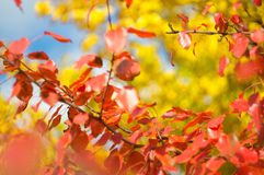 Yellow and red color bright foliage on branches trees in picturesque autumn valley, against a background of blue sky with clouds. Fragment of day`s landscape stock photo