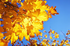 Yellow red colorful autumn maple leaves Stock Images