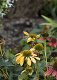 Yellow and Red Coneflowers. Yellow coneflower in foreground with red coneflowers to the side and behind in a woodsy background Royalty Free Stock Photo