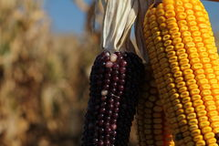 Yellow and red corncob Stock Images