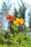 Yellow and red cosmos flowers Stock Photo