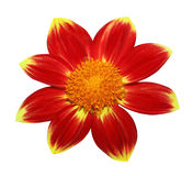 Yellow Red Dahlia Stock Photo