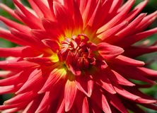 Yellow and Red Dahlia Royalty Free Stock Images
