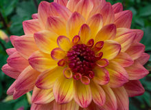 Yellow red dahlia. The petals of a yellow and red Dahlia Stock Photo