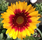 Yellow and red daisy Stock Image
