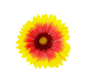 Yellow and red daisy flower isolated Stock Photos
