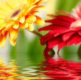 Yellow and red daisy-gerbera. Closeup photo of yellow and red daisy-gerbera reflected in water royalty free stock images