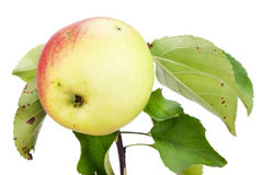 Yellow red ecological apple  on  branch Royalty Free Stock Image