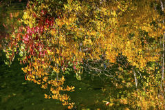 Yellow Red Fall Colors Water Reflection Wenatchee River Washington. Yellow Red Leaves Fall Colors Green Water Reflection Abstract Wenatchee River Stevens Pass royalty free stock photos
