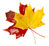 Yellow  and red fall leaves Stock Photo