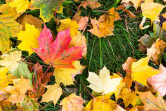 Yellow and red fallen leaves on green grass Stock Images