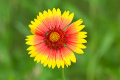Yellow-red field flower with a bee Stock Photo