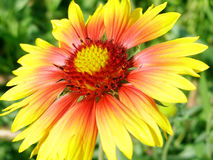Yellow red flower Stock Image