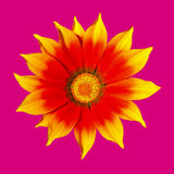 Yellow and red flower. On pink background Stock Photography