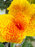 Yellow and red flower Royalty Free Stock Image