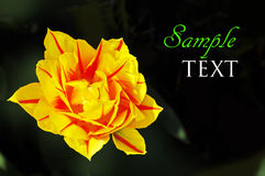 Yellow and red flower on dark green background Stock Photo