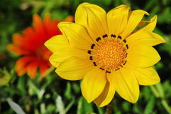 Yellow and red flower garden. Colorful garden with a big yellow flower on foreground and a red flower on background Royalty Free Stock Image