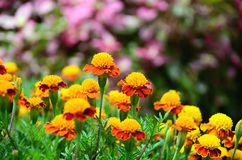 Yellow and red flower in the garden Purple flowers background Royalty Free Stock Photo