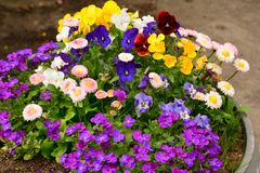 Flower in the garden shined at sun colorful yellow blue violet white stock photography